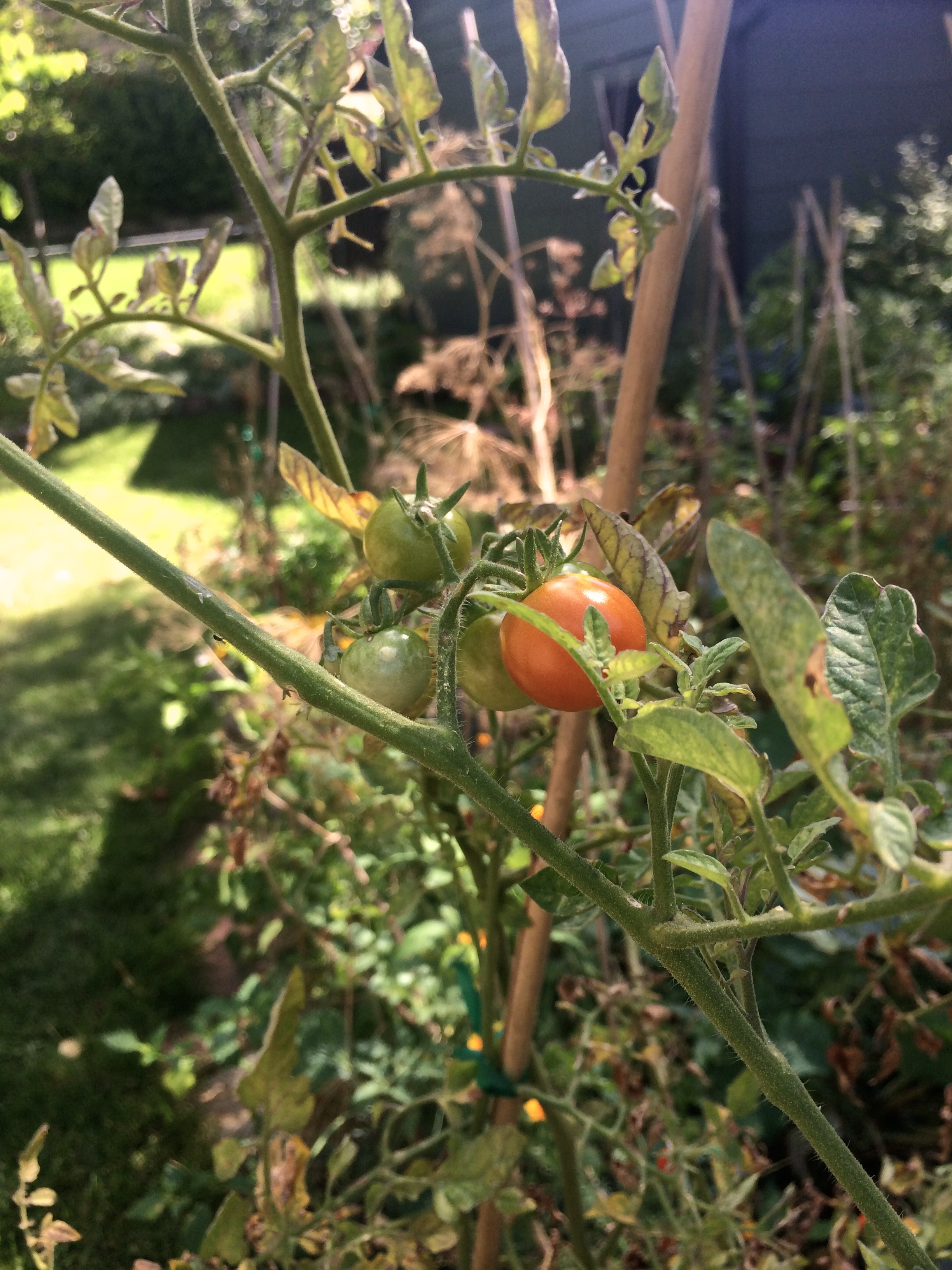 cherry tomatoes ripening in the sun