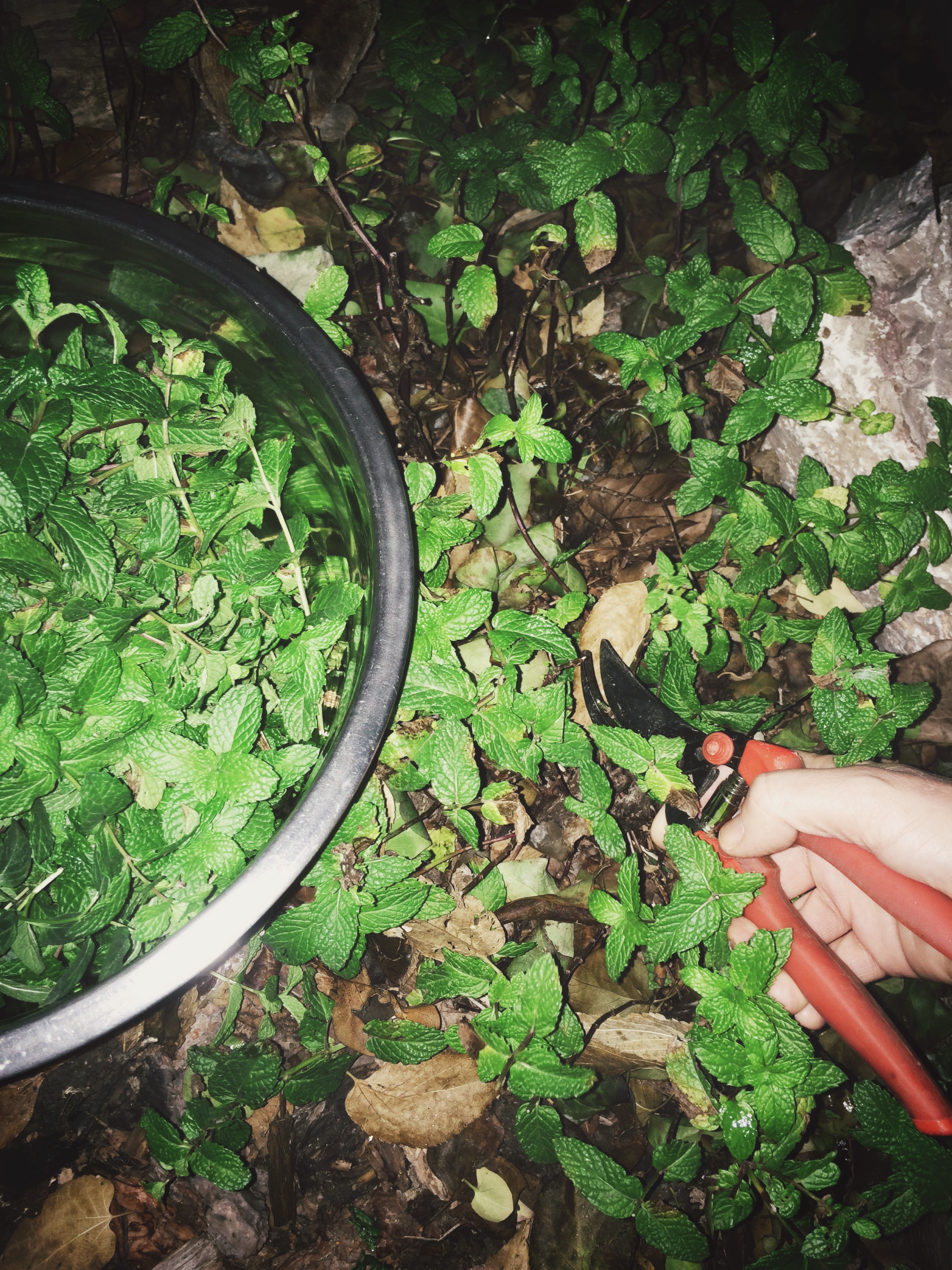 harvesting mint at night